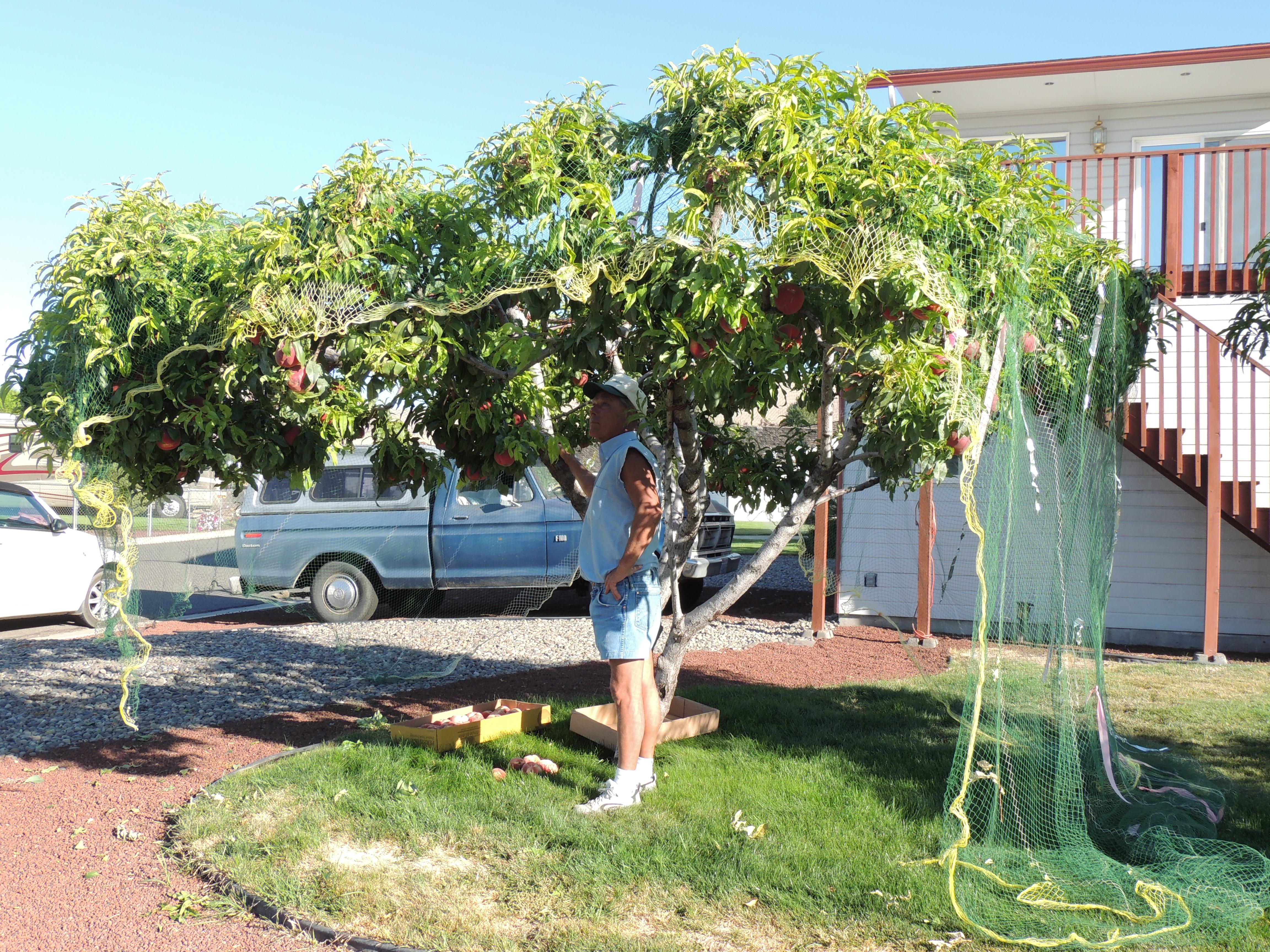 backyard u201cbonzai u201d fruit trees yakima county washington state