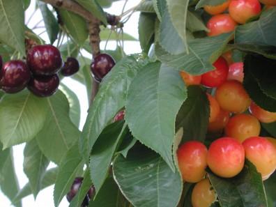 Bing-Rainer-cherries18
