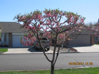 Bonsai-Peach_3725