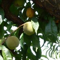 peach-close-2JVH1