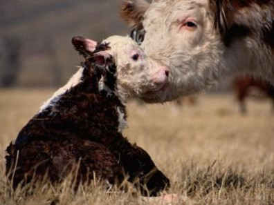 cow-and-calf1