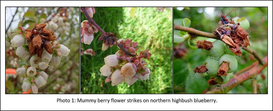 Photo of mummy berry flowers