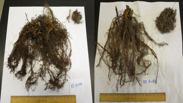 Photo of roots of a Meeker red raspberry
