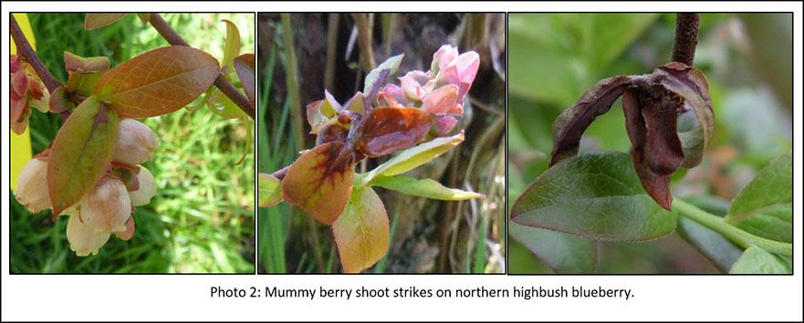 Photo of mummy berry shoot