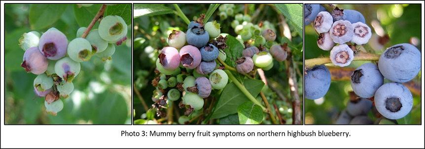 Photo of mummy berry fruit symptoms