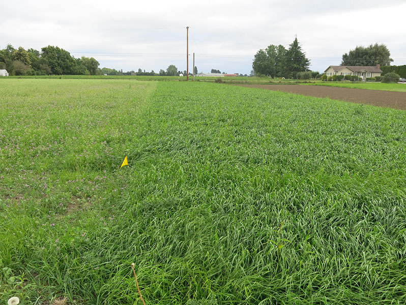 Photo of Five-week-old Italian ryegrass stand