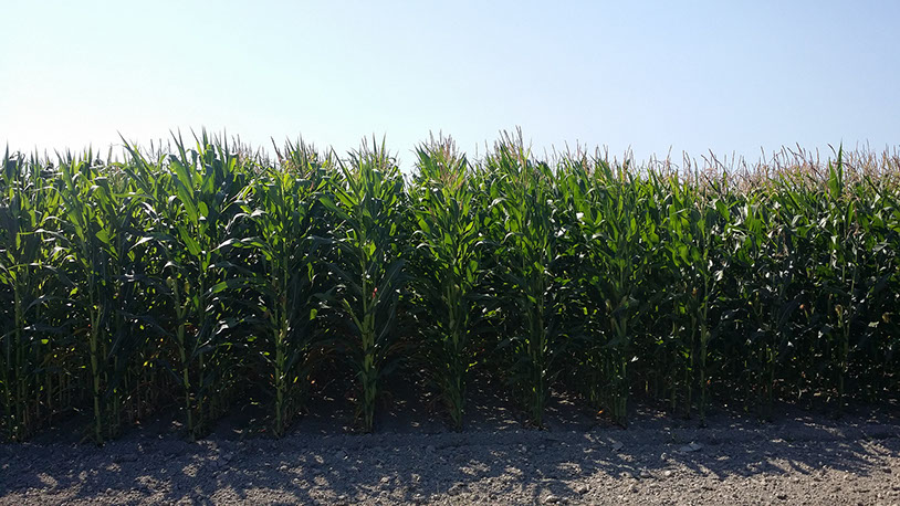 Photo of Blue River Hybrids corn silage variety trial at NWREC in Mount Vernon