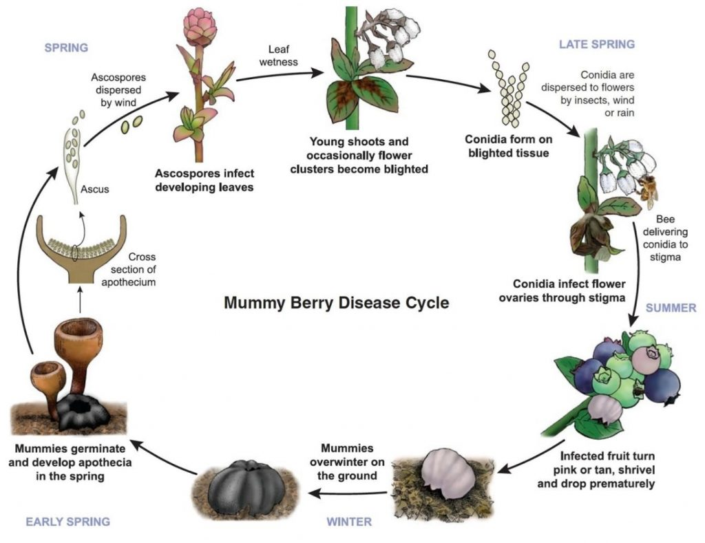 Mummyberry life cycle
