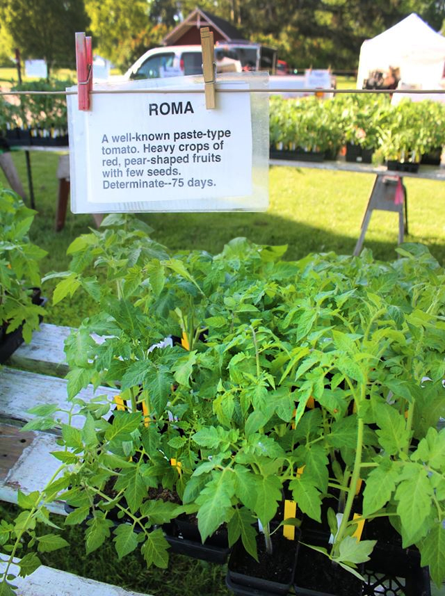 Roma Tomatoes at plant sale