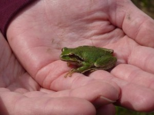 Hand holding a Pacific Chorus Frog
