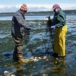 Beachwatchers seeding oysters