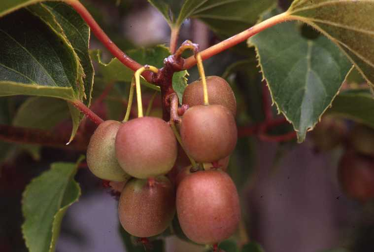 Hardy Kiwis (Actinidia arguta) are well suited to the Puget Sound region and very productive.