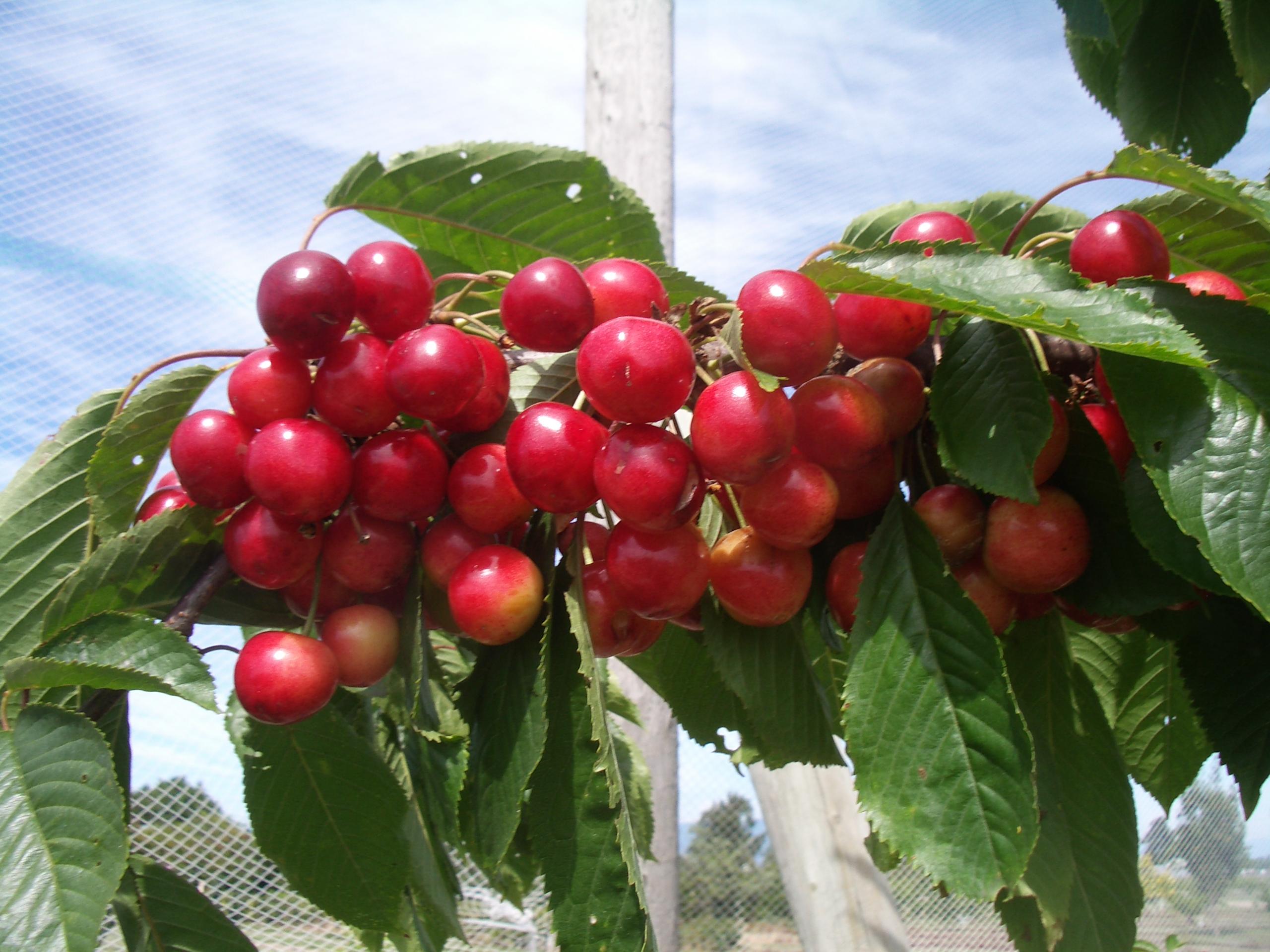 Cherry Western Washington Tree Fruit Alternative Fruits