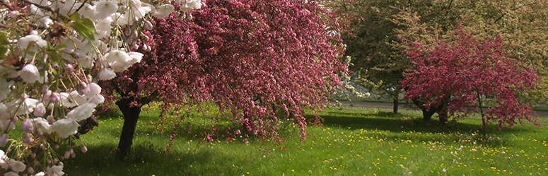 The ornamental tree fruit arboretum at WSU Mount Vernon NWREC includes flowering crabapples, cherries, and plums.