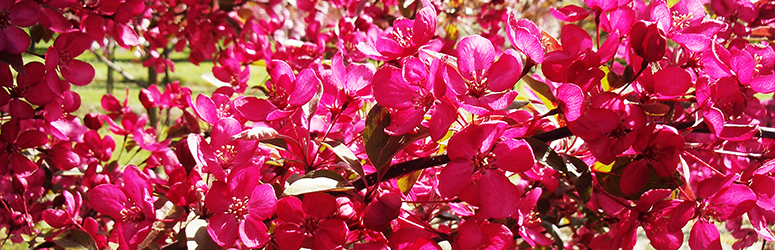 Crabapple flowers range from pure white to the dark pinkish red of 'Orange Crush,' a recent introduction.