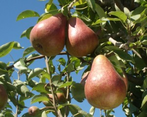 Rescue pear, introduced by WSU Mount Vernon NWREC in 1987.