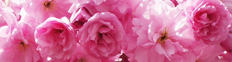 Kwanzan Flowers can be single or fully double, some with fringed petals, and colors range from white to rose pink.