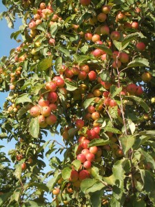Puget Spice crabapple, introduced by WSU Mount Vernon NWREC in 2012.