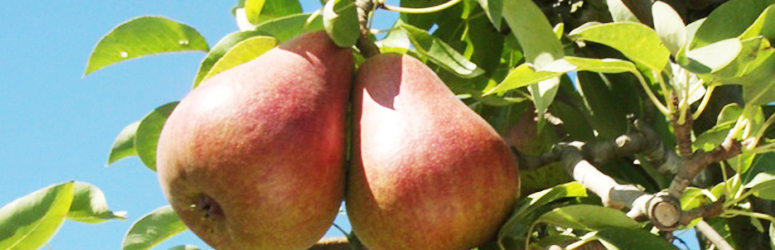 Rescue pear, introduced by WSU Mount Vernon NWREC in 1987