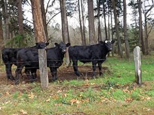 Cattle 2 copy