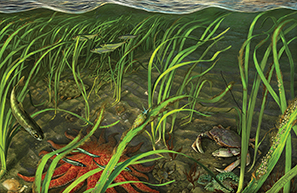 Eelgrass artwork image copy