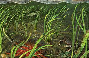 Eelgrass artwork image copy
