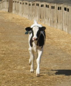 A black and white calf approaching the camera
