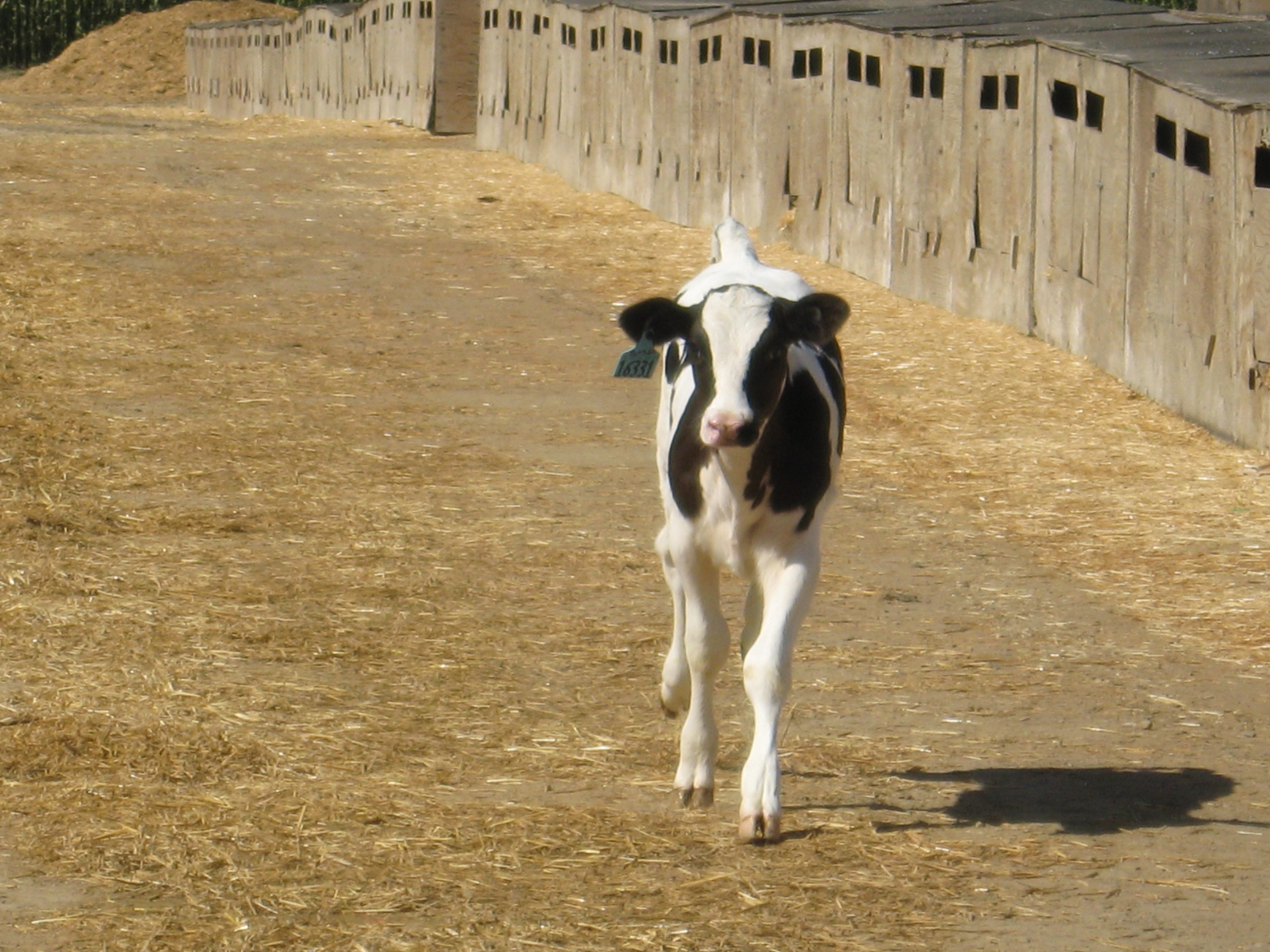 CalfScience | Veterinary Medicine Extension | Washington State