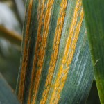 extreme stripe rust close up