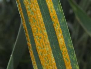 extreme close up of stripe rust spores