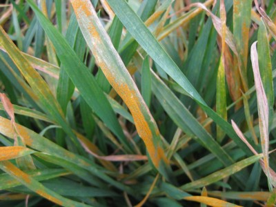Close Up of Stripe Rust Horse Heaven Hills, Nov 2010