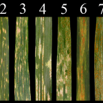 Stripe Rust Infection Type shown on a scale of 0 (none) to 9 (high)