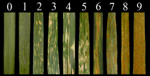 Stripe Rust Infection Type
