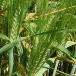 Stripe Rust on Barley