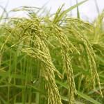 Stripe Rust on Rice