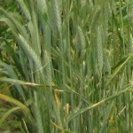 Stripe Rust on Rye
