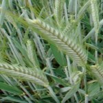 Stripe Rust on Triticale