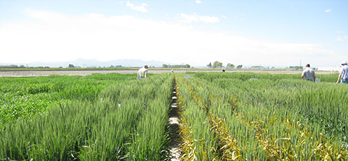 Photo displays wheat field, half has been sprayed with a fungicide. Un-sprayed half shows visible signs of stripe rust.