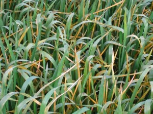 stripe rust susceptible wheat seedlings