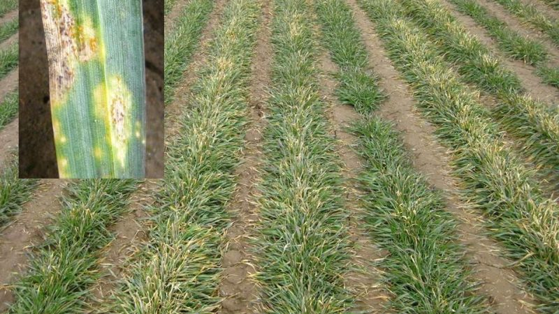 seedling stage wheat in field with signs of stripe rust