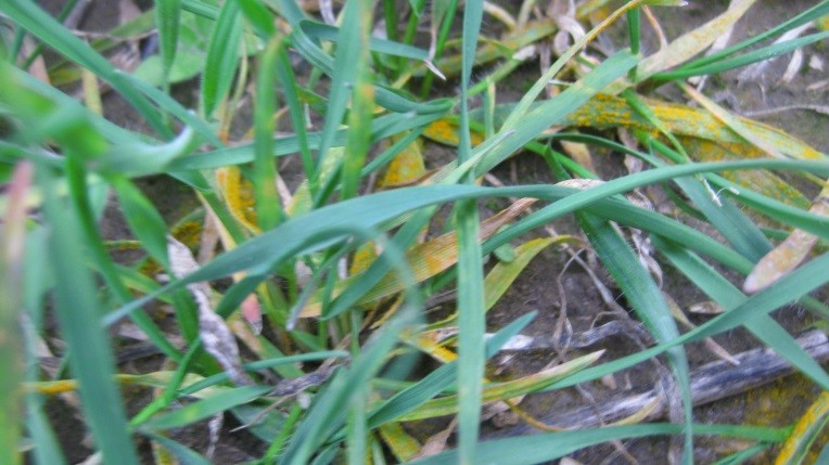 close up of wheat in field with rust spores