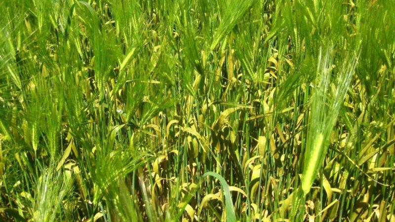 stripe rust in a field of barley