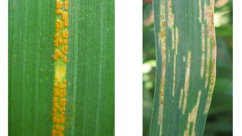 close up of two wheat leaves, one with live rust spores, one with necrotic strips
