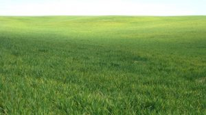 winter wheat field with signs of stripe rust infection