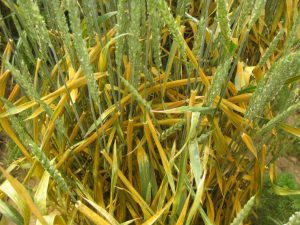 A group of wheat plants, heavily infected with stripe rust