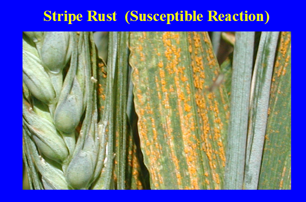 susceptible wheat plant