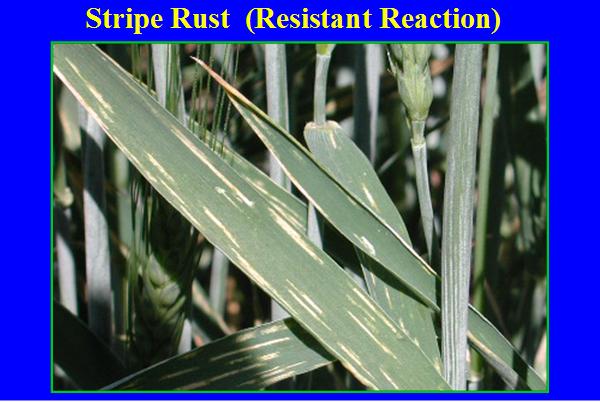 resistant wheat plant