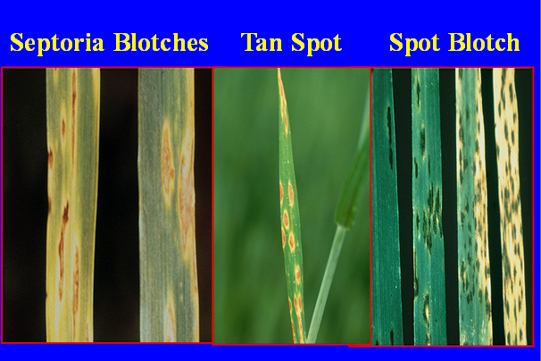 wheat leaves infected with stripe rust look-alikes