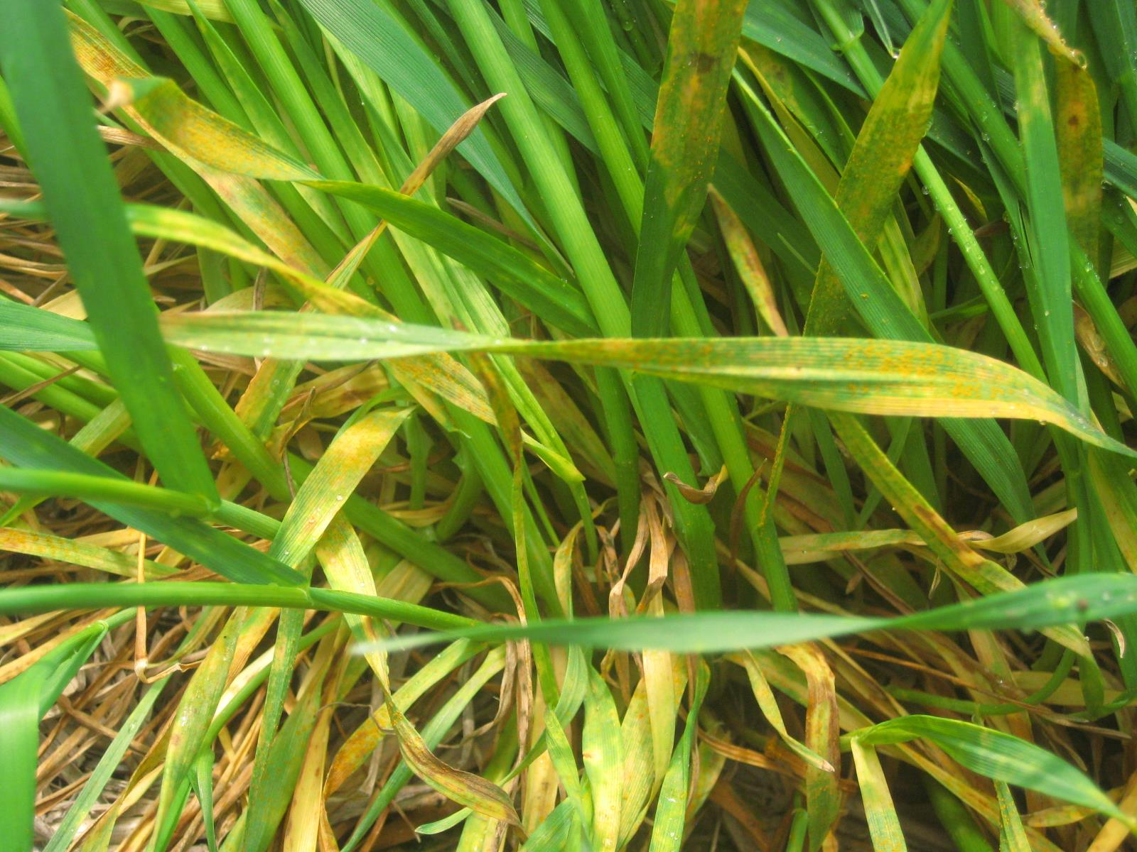 Active stripe rust found in a winter wheat field in Lincoln County, WA on May 7, 2018