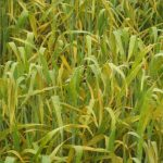 Severe stripe rust